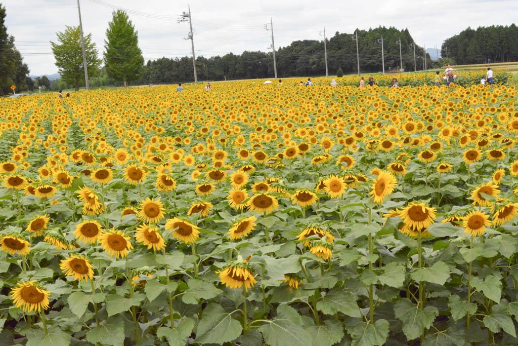 夏の終わりに那珂総合公園のひまわり畑(那珂市) | 茨城を ...