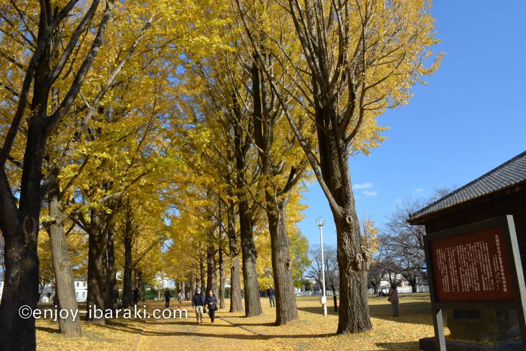 茨城県立歴史館のイチョウ並木