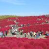 ひたち海浜公園コキアの紅葉